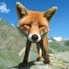 fox66